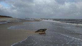Foka na plaży