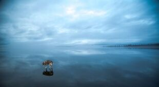 Syberyjskie husky na tafli zamarzniętego jeziora w Murmańsku