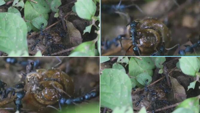 Mrówki bezlitośnie atakują ślimaka. <br />Pracowicie go zjadają