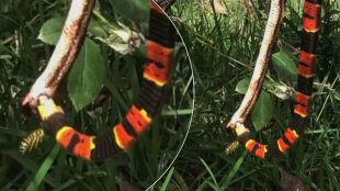 Osa żądląca węża jedzącego węża. Niecodzienna walka w różach