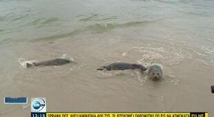 Helskie foki popłynęły w świat (TVN24)